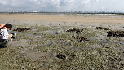 Dugong feeding trail in Spoon seagrass (Halophila ovalis), Terumbu Pempang Laut, Jul 2020