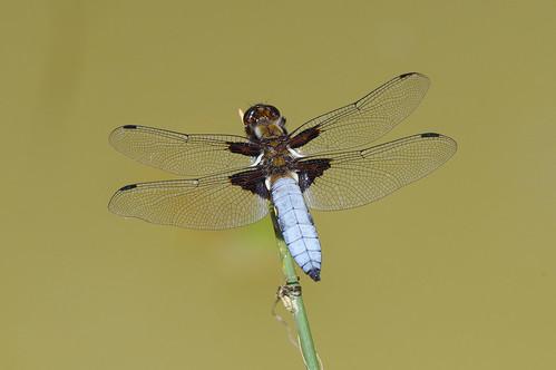 cambridgeshire libelluladepressa monkswood broadbodied chaser dragonfly insect nature wild wildlife