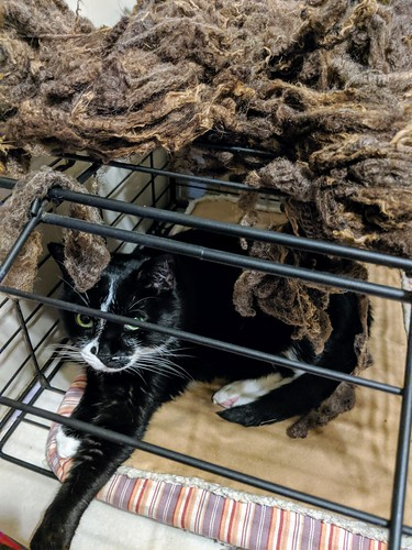Drying brown Shetland wool locks on pet crate with Tuxedo cat inside on a pet bed
