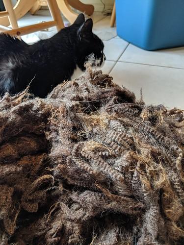 Raw brown Shetland ewe fleece on ceramic tile with male Tuxedo cat inching closer