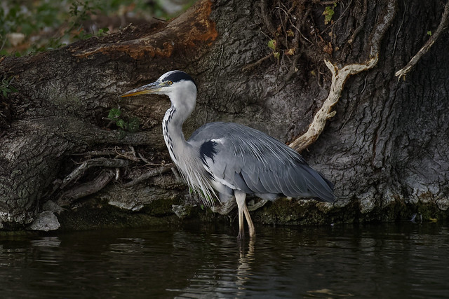 a grey Heron in evening