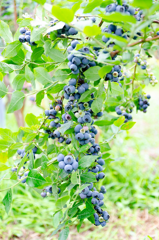 blueberry-2