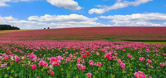 Rieeeeesiges Mohnblumenfeld. Huge field of poppies.