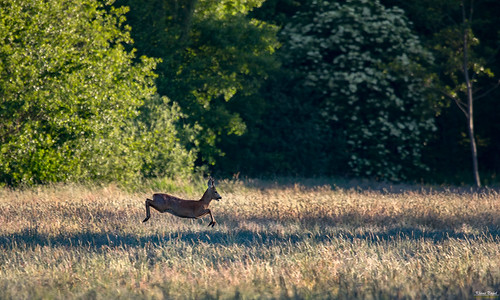 The roe deer | by K-PIXEL-N