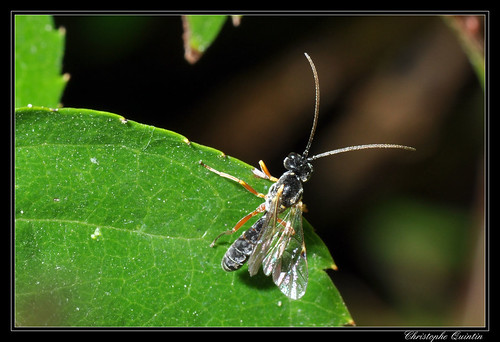 Ichneumonidae/Tryphoninae