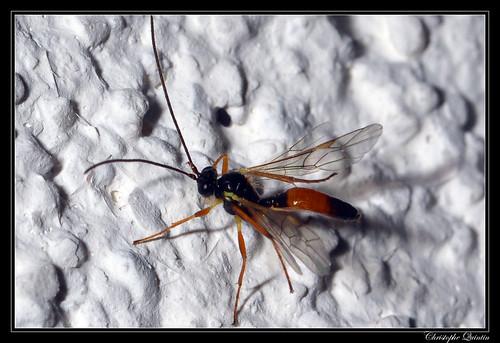 Ichneumonidae/Cryptinae