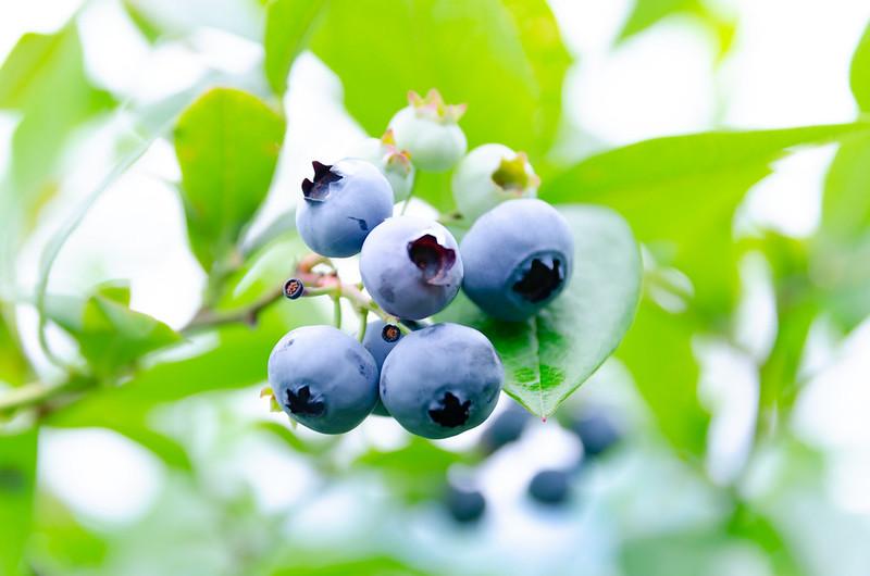 blueberry-5