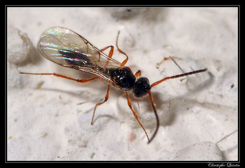 Diapriidae