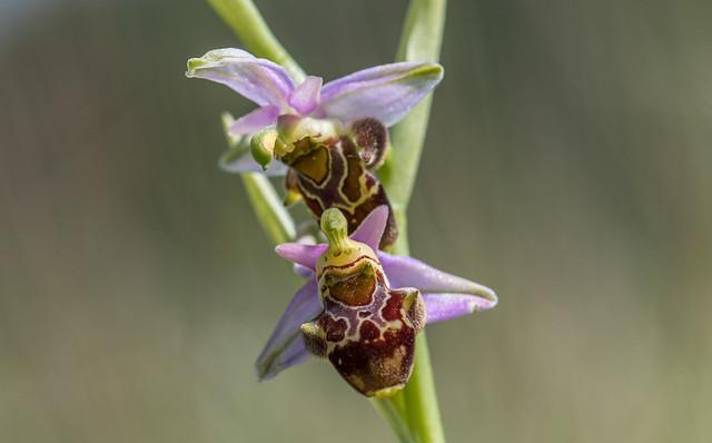 Szarvas Bangó (Ophrys scolopax)