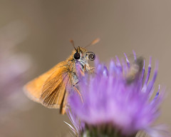 lulworth Skipper