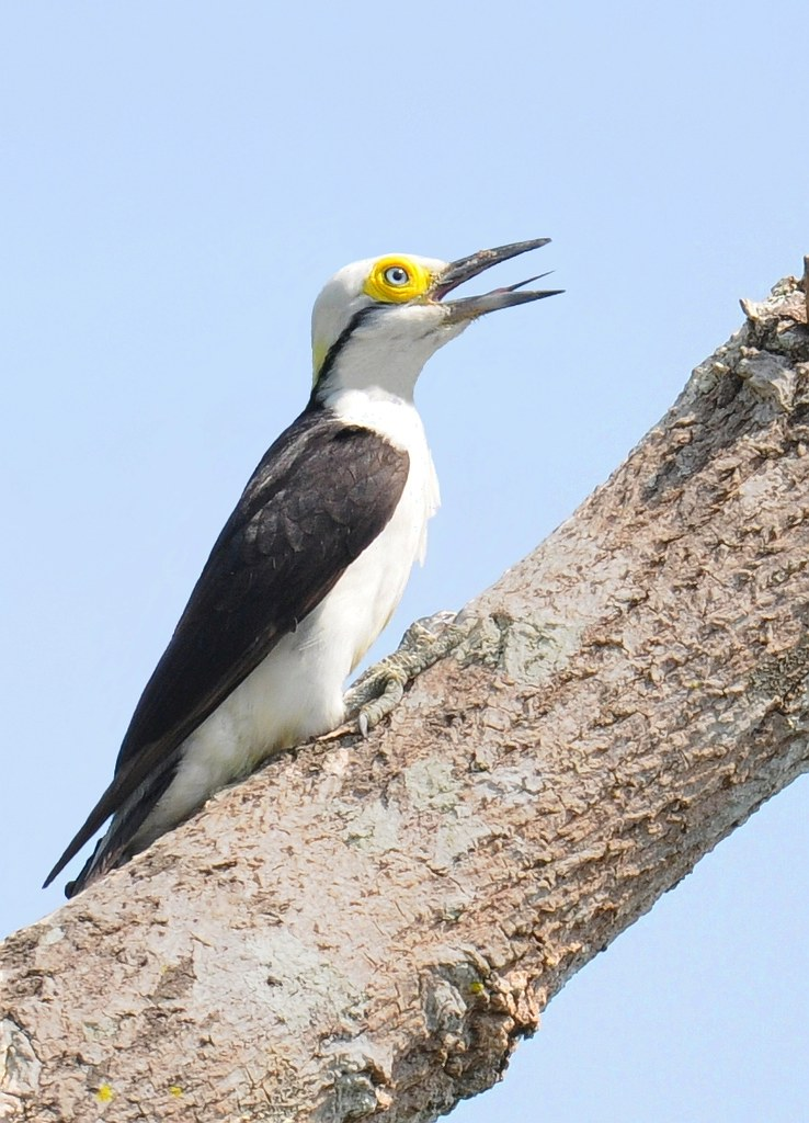 Birro / Pica-pau-branco / White woodpecker