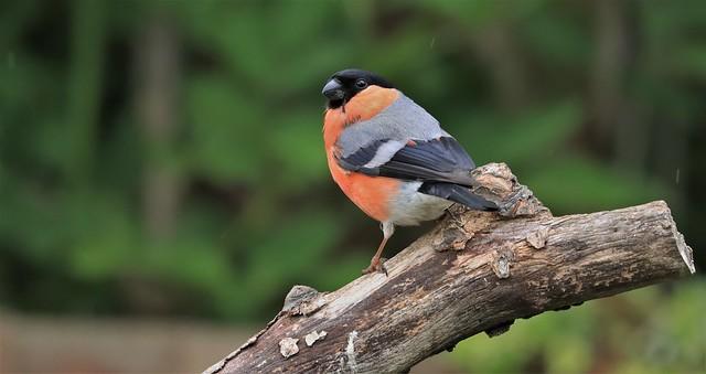 Bullfinch - Male      (Pyrrhula pyrrhula)