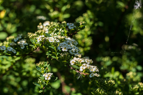 An image of hawthorn blossom taken in May 2020.
