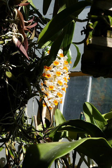 Dendrobium thrysiflorum species orchid