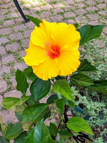 Potted yellow hibiscus bloom with thyme