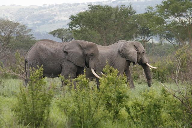 Large elephants