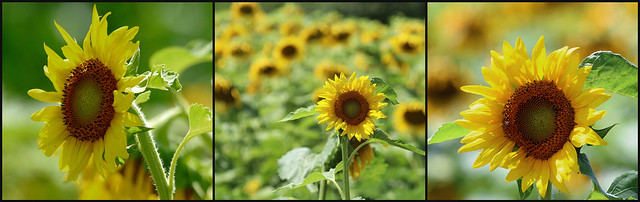 """""""Advice from a sunflower: be bright, sunny, and positive. Spread seeds of happiness. Rise, shine, and hold your head high."""" — Unknown"""