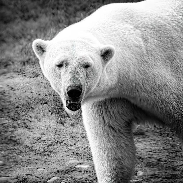 _TPW_Polar Bear
