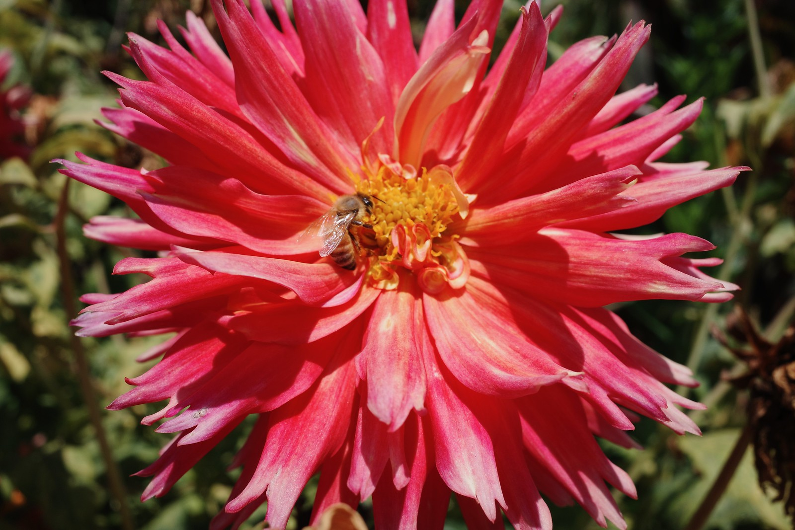 macro of a bee in a dahlia