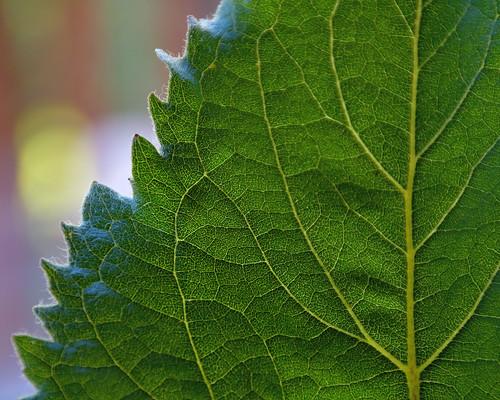 eechillington nikond7500 viewnxi leaf plants patterns stilllife sunflower