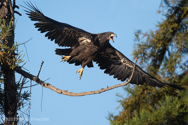 Juvenile Bald Eagle Takes Flight From A Bare Redwood Tree Branch