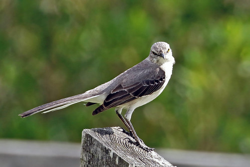 bird mockingbird northernmockingbird mimuspolyglottis nature wildlife mimic birdsong unusualsong countrywesternsong mockingbirdsong celeryfield florida jannagalski jannagal folksong civilwarsong