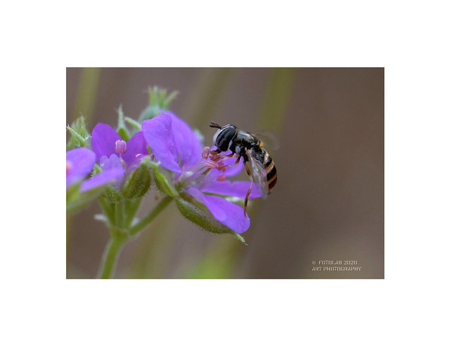 Erodium malacoides con abeja.