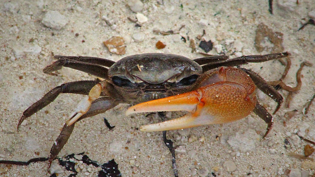 2020.07.05 Lower Suwannee NWR Red-jointed Fiddler Crab 5