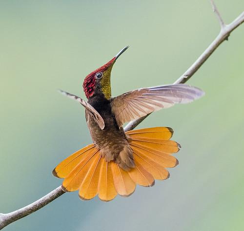 Tobagonian Beauty. Ruby Topaz Hummingbird, Tobago.