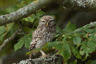 Little Owl juvenile | by Hammerchewer