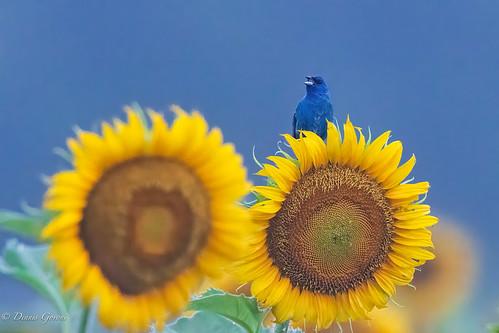 flower mckeebeshers bird indigobunting maryland summer sunflowers sunrise wildlife