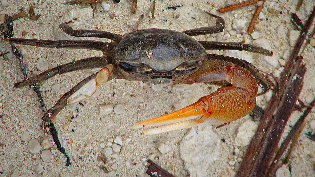 2020.07.05 Lower Suwannee NWR Red-jointed Fiddler Crab 7