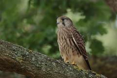 Kestrel fledgling (HH)