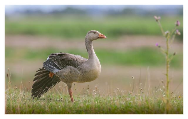 Greylag Goose - (Anser anser) 2 clicks  zoom