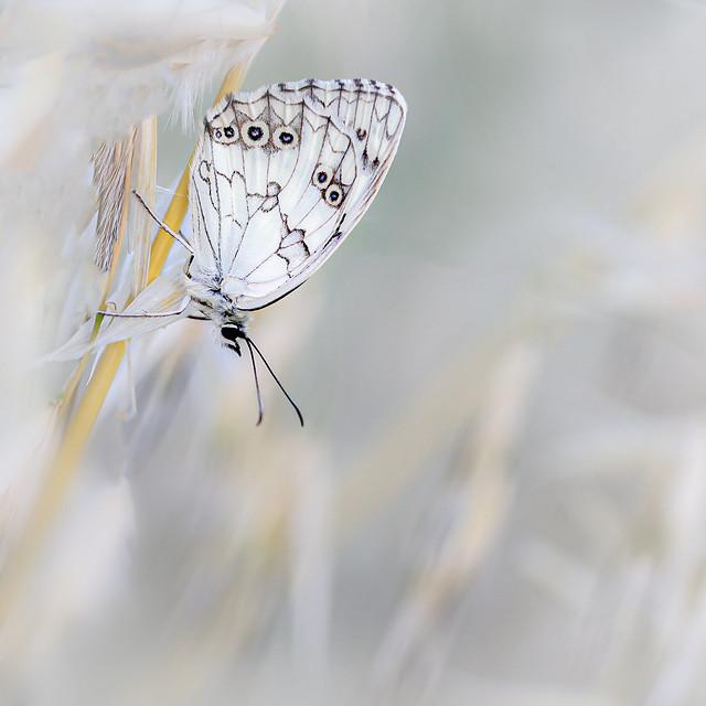 Marbled white (Melanargia galathea), Dambordje
