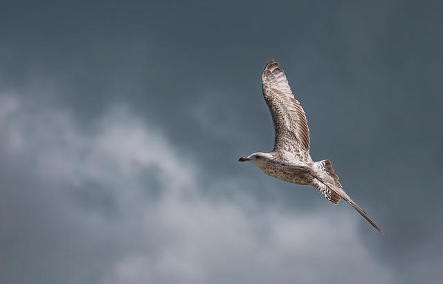 Drama Gull