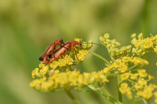 Soldier Beetles on Wild Parsnip Flowers