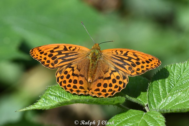 Silver-washed Fritillary (Ralph Wk 27)