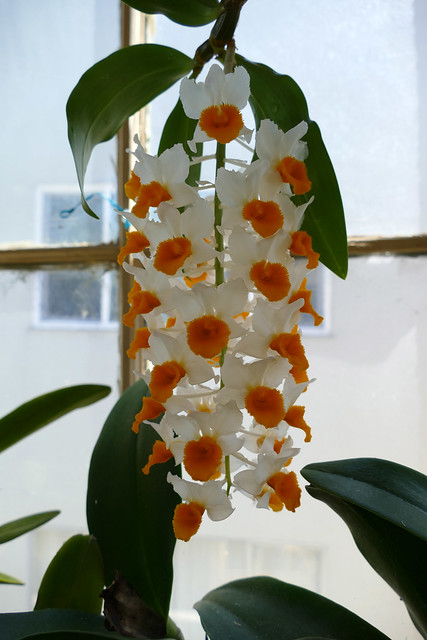 Dendrobium thyrsiflorum species orchid