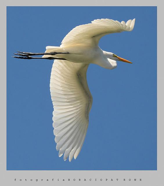 -GARZA BLANCA ( ardea alba - Great Egret ) toma reserva LAGO DE REGATAS . Buenos Aires.Argentina.