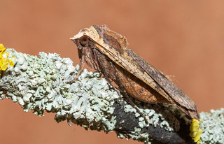 Large Yellow Underwing | by garyclarkewildlifephotography