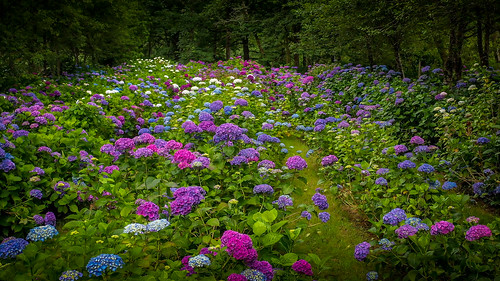 Hydrangea Ranch | by Oregon Coastal Flowers