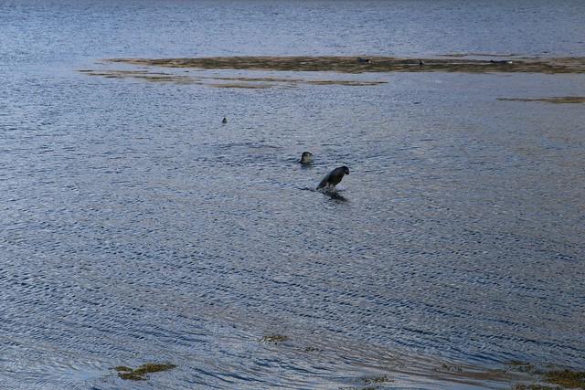 IMG_3715 Seals in Westfiords