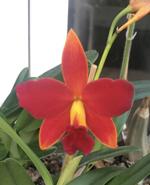Cattlianthe. Orquidacea's Primeiro Amor