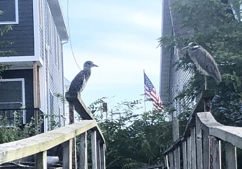 Blue heron mates