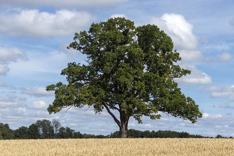Hammersta Oak