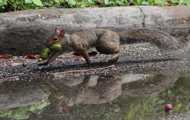 fox squirrel (Sciurus niger), also known as the eastern fox squirrel or Bryant's fox squirrel (in explore)