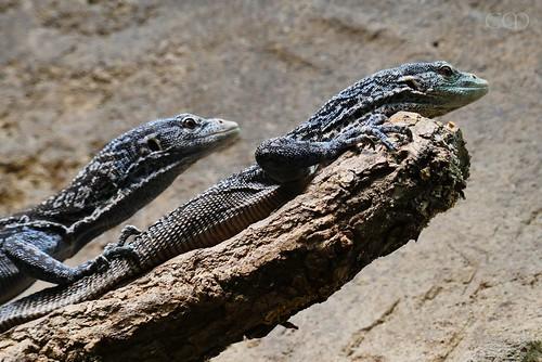 The blue lizards...