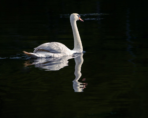 cygnusolor swan muteswan pond water worcester massachusetts institutepark nikon d500 nikond500 nikkor reflection ripples dark morning sunrise waterfowl anatidae wildlife fauna bird