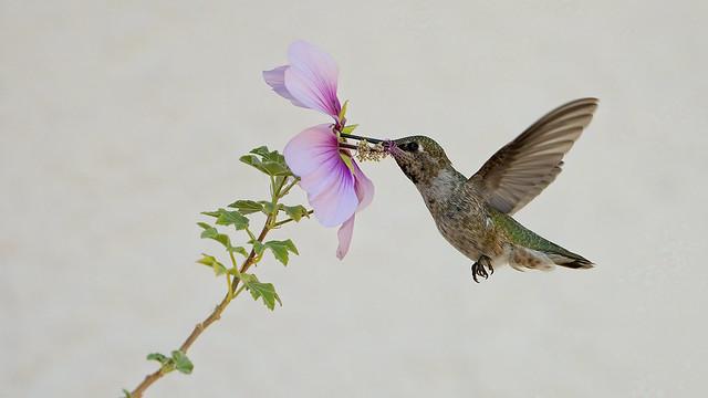Hummingbird 77